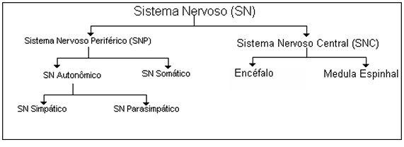 Resultado de imagem para sistema nervoso periferico somatico e autonomo